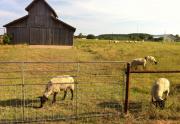 SheepAndBarn