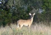 mason-deer2