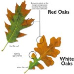 Oak wilt in Fredericksburg Tx and the Texas Hill Country