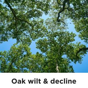 Oak wilt & decline